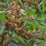 Somalia declares state of emergency over locust invasion